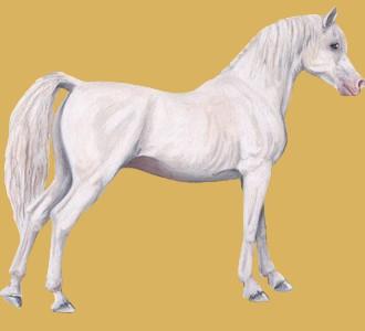 Ein Pferd von der Rasse arabisches vollblut aufnehmen
