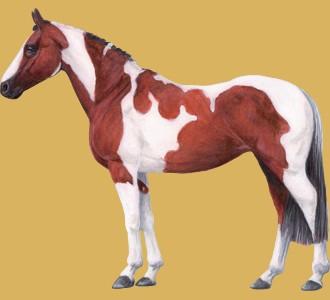 Ein Pferd von der Rasse paint horse aufnehmen