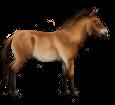 Przewalski-Pferd - Fell 20