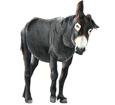 Schwarzer Esel - Fell 1000000037